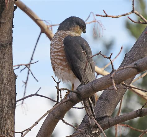 front side back juvenile juv back eating close ups close ups 2 flying sharp shinned hawk
