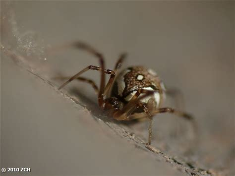 light brown spider with brown stripe on its back