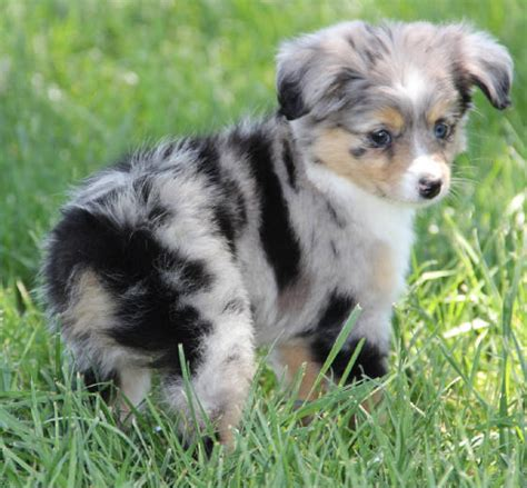 aussie puppies for sale in pin australian shepherd puppies pics on