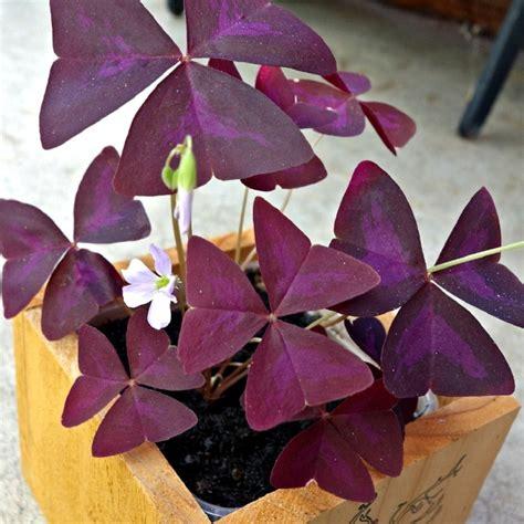 growing oxalis   grow shamrock plants tips