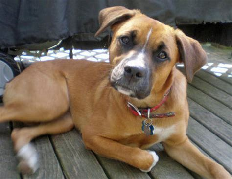 beagle boxer mix puppies boxer beagle mix a k a boggle breed info characteristics and pictures