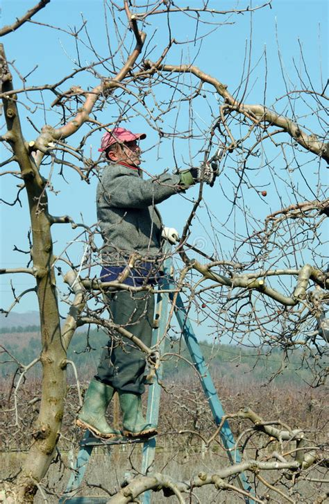 la poda pruning 8467703059 pruning apple tree editorial photo image of annual largest 51437131