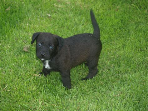 patterdale puppies patterdale terrier puppies for sale breeds picture