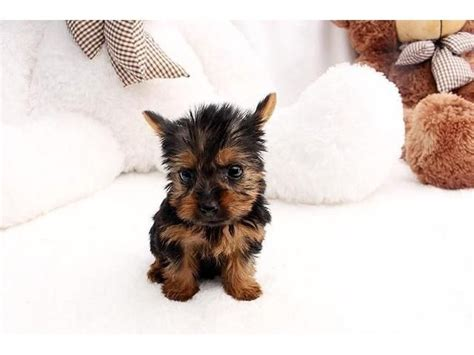 yorkie puppies in animal shelters best 25 yorkie puppies for adoption ideas on