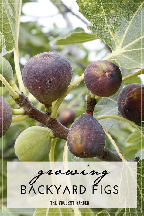 best fig growing backyard figs