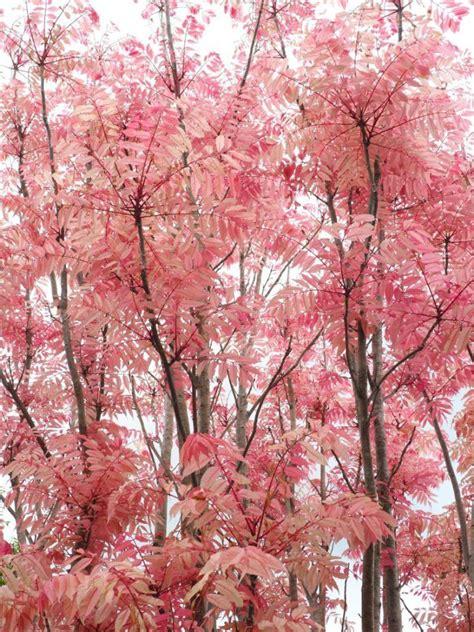 654 cherry tree road the cedar toona sinensis flamingo in the garden flamingo gardens and