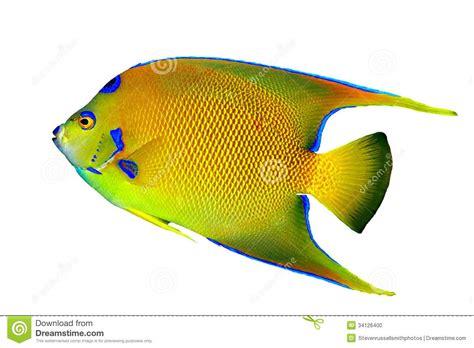 angelfish isolated stock photo image 34126400