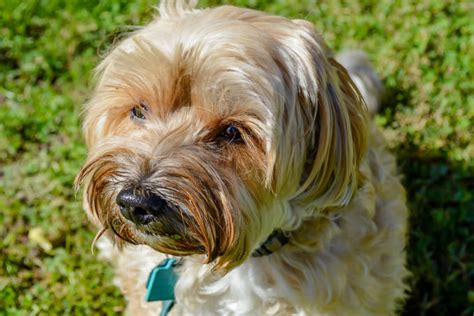 havanese food giving this to your havanese daily could help alleviate skin allergies
