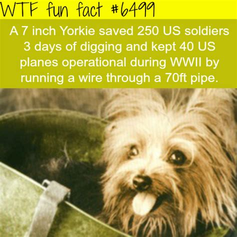 interesting facts about yorkies tiny yorkie facts