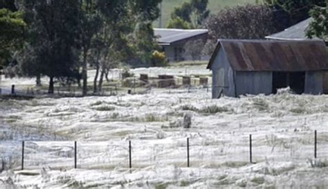 the inquisitr local news can be seriously funny here goulburn australia it s raining baby spiders hallelujah