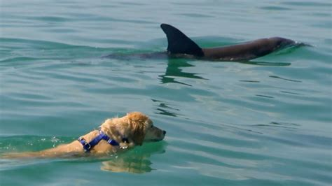 best swimming dogs this is best friends with a dolphin and they swim together everyday newscult
