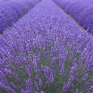 Green Foliage Outdoor Plants - buy lavender lavandula angustifolia munstead delivery by crocus