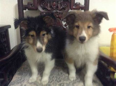 sheltie puppies for adoption shetland sheepdog puppy for sale adoption in singapore adpost classifieds