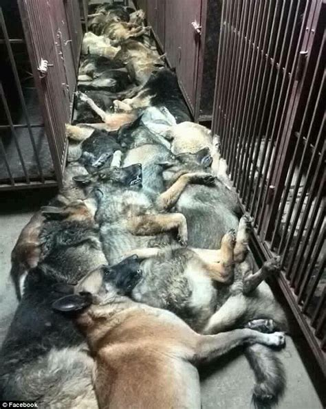 bomb sniffing dogs dozens of bomb sniffing dogs killed by american security company in kuwait daily