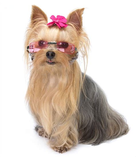 puppies with sunglasses 45 adorable terrier images and pics golfian