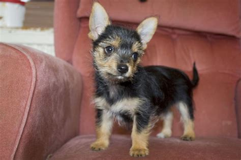 chorkie wikipedia file 3 fully vaccinated chorkie puppies for sale jpg