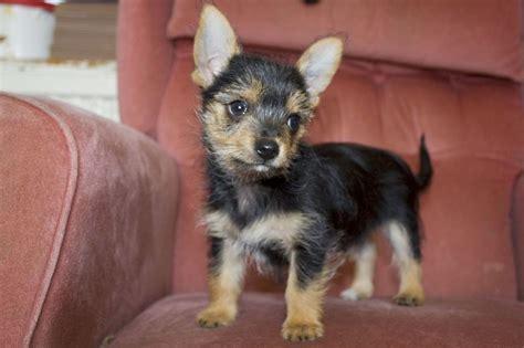 File Fully Vaccinated Chorkie  Ee  Puppies Ee    Ee  For Sale Ee   Jpg