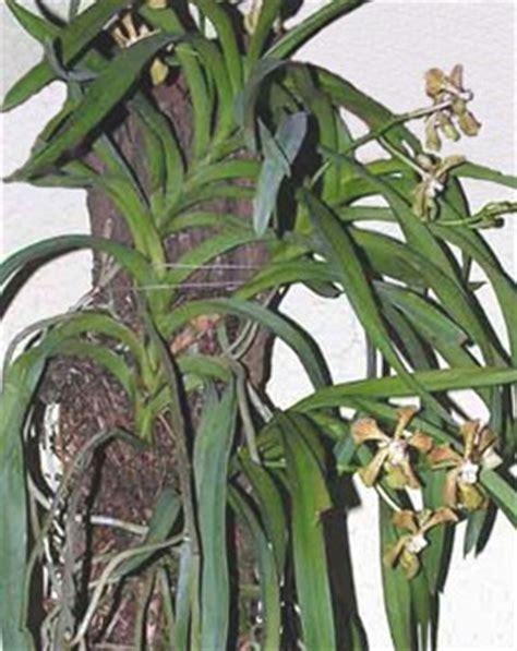manutenzione orchidee in vaso vanda orchidee tecniche di coltivazione e principali
