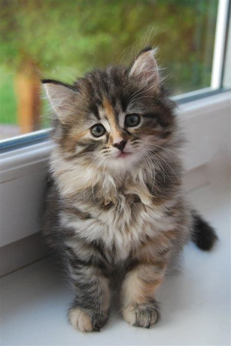 kucing comel   jual kucing kacukan siam