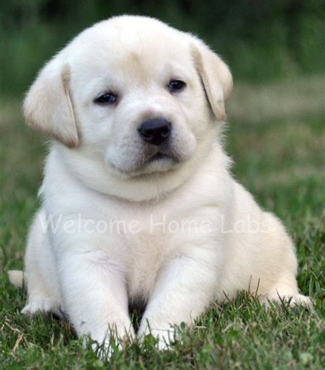 maine lab puppies 25 best ideas about yellow lab puppies on lab puppies lab puppies