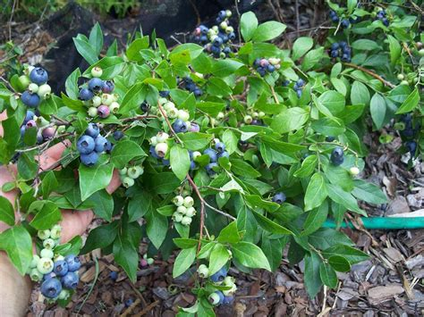 backyard berry plants backyard berry plants specializing in organically grown