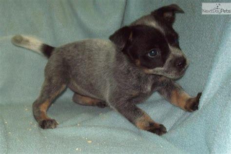 blue heeler puppies for sale in oregon australian blue heeler newborn puppies breeds picture