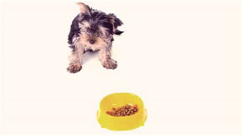 how much food should i feed my yorkie puppy when can puppies eat food diydry co