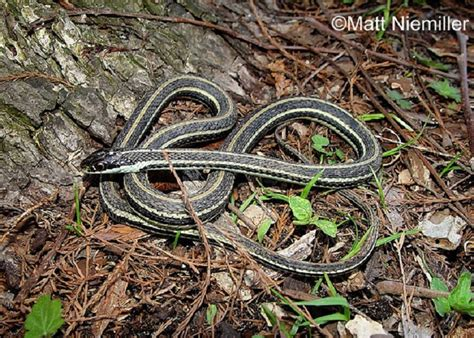 Garden Snake Tennessee Tennessee Watchable Wildlife Western Ribbonsnake