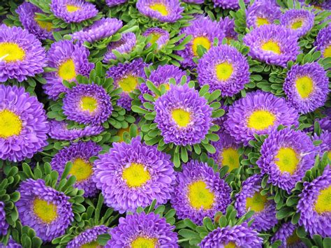 flower wallpaper new 2015 aster flower wallpaper