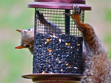 backyard safari can squirrels predict winters
