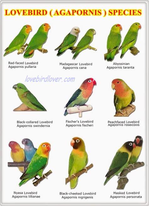 Jenis Kacamata berbagai jenis lovebird kacamata dan sifat penurunannya