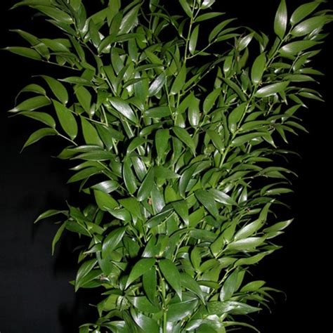 italian ruscus ruscus italian italy france greens foliages and