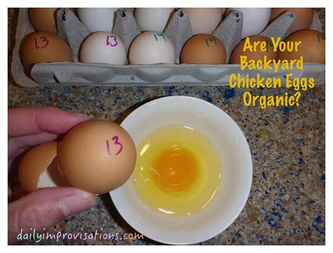 backyard chicken eggs are your backyard chicken eggs organic
