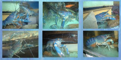 Pelet Lobster lobster biru