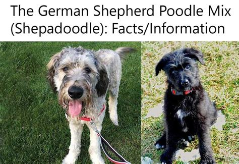 german shepherd poodle mix 25 best ideas about poodle mix on poodle mix puppies bernese mountain