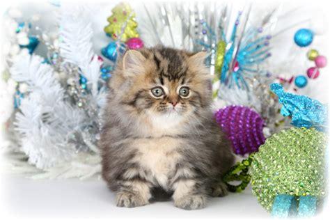 Rug Hugger Kittens For Sale by Shaded Golden Teacup Rug Hugger Kitten For Saleultra