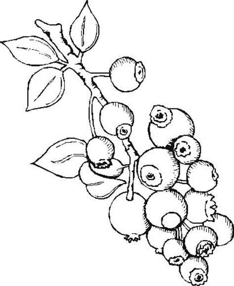 blueberry bush coloring pages coloring pages
