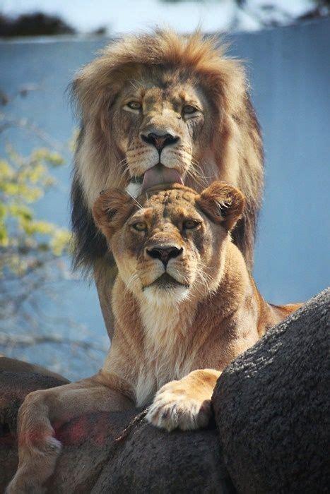 imagenes de leones lindas pin de luane silvestre en nature animals pinterest