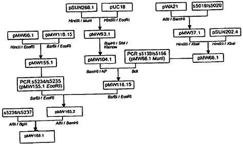 bacillus flowchart bacillus identification chart pictures to pin on