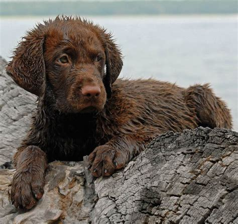 chesapeake bay puppies chesapeake bay retriever breed information and images k9rl