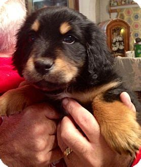 golden retriever rescue st louis theodore adopted puppy st louis mo bernese mountain golden retriever mix
