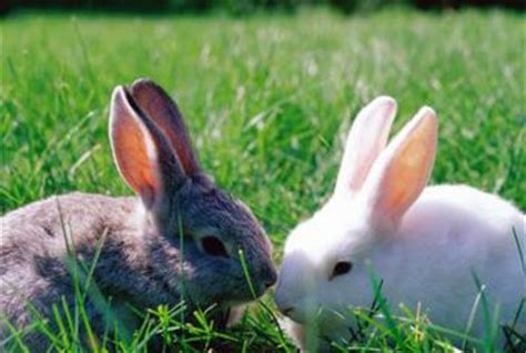 rabbit repellent for vegetable gardens blood meal for rabbit repellent home guides sf gate