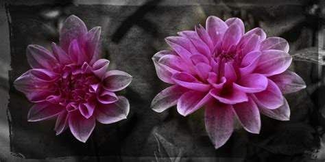 touch of color flowers bw w touch of color photo web studio