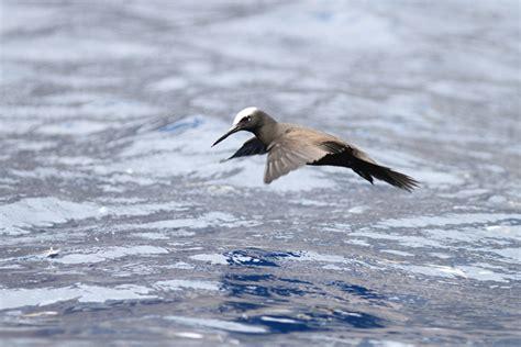 boatswain bird island black noddies at boatswain bird island three amigos birding