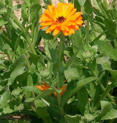 fiore di calendula calendula asteraceae come curare e coltivare la vostra