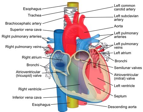 diagram of the aorta aorta howmed