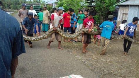 film barat ular di pesawat warga mamuju tangkap ular piton raksasa sepanjang 7 meter