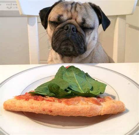 can pugs eat cheese 25 times doug the pug accurately described your relationship with food