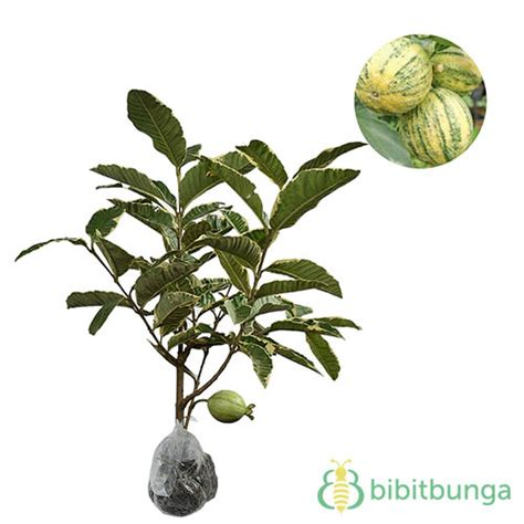 Tanaman Hias Variegata tanaman jambu biji variegata