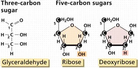 carbohydrates with 5 carbon atoms let s check this out with a 5 carbon sugar if we count